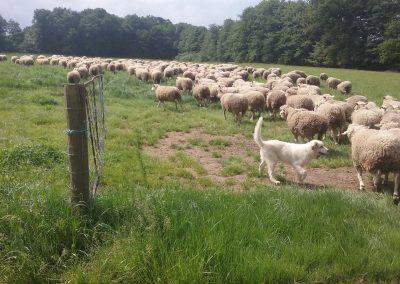 La petite bergerie, élevage de brebis