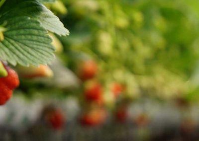 Les fruits rouges de mon jardin, producteur